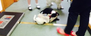 Puppies have fun at Donview Vets puppy parties!
